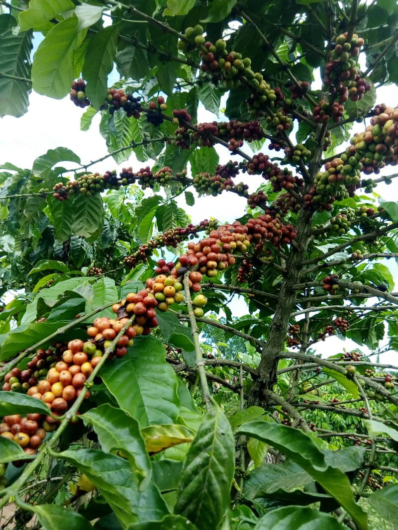 robusta-coffee-cherries