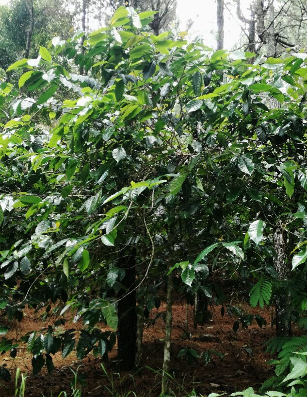 Coffee bush, Mount Puntang, West Java