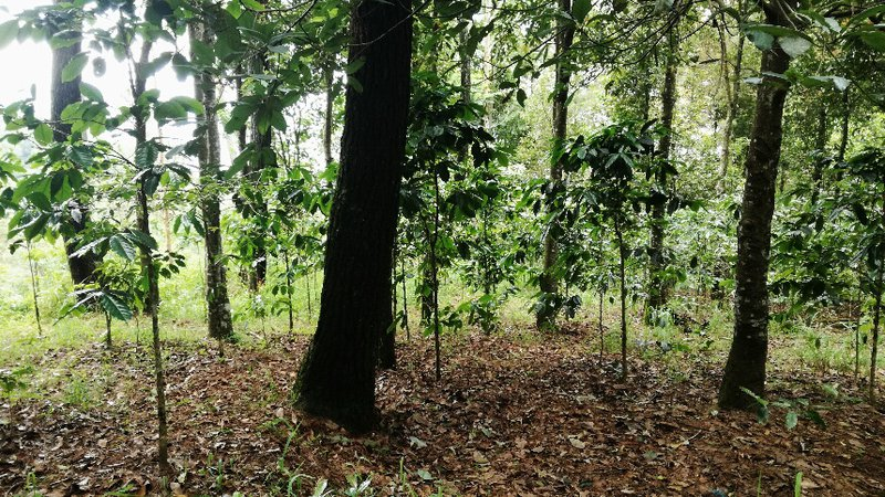 Coffee and Agroforestry