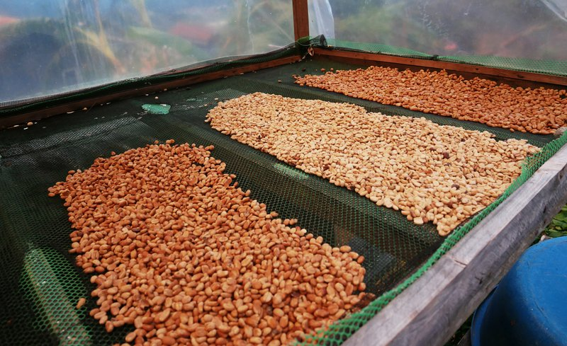 Honey process, Ola organic coffee farm, Sagada